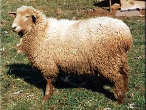 Bannur Sheep Pictures