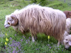 Bardoka Sheep