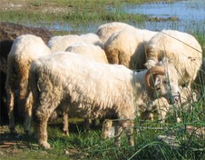 Bardoka Sheep Images