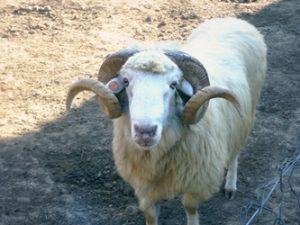Bardoka Sheep Pictures