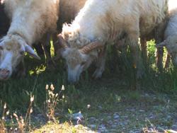 Bardoka Sheeps