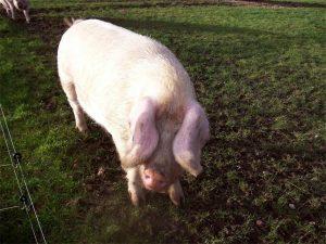 British Lop Pig