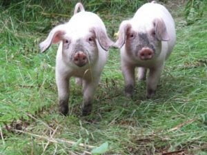 British Lop Pig Images