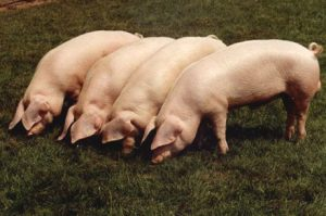 British Lop Pigs