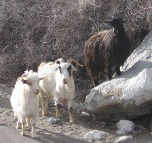 Changthangi Goat Images