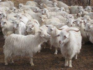 Changthangi Goats