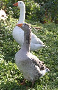 Danish Landrace Goose Pictures