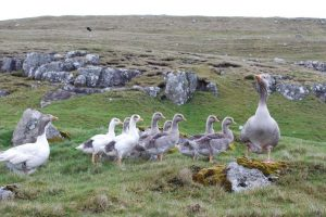 Faroese Goose Pictures