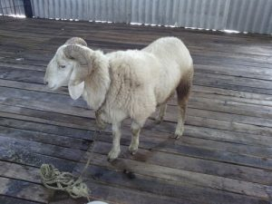 Images of Bannur Sheep