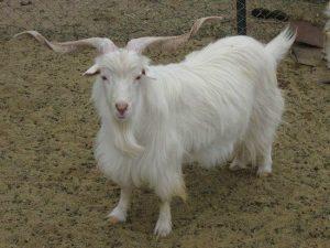 Pashmina Goat