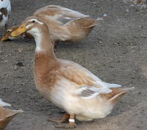 Saxony Duck Images