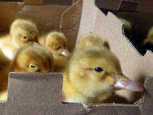 Saxony Ducklings