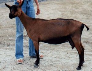 Chamois Colored Goat Photos