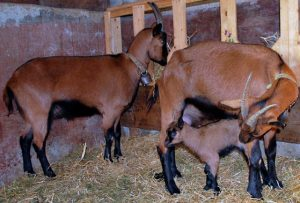 Chamois Colored Goats