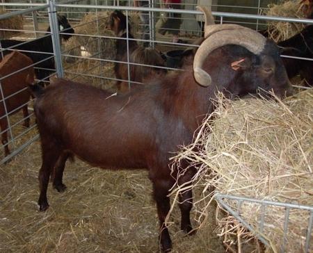 Charnequeira Goat