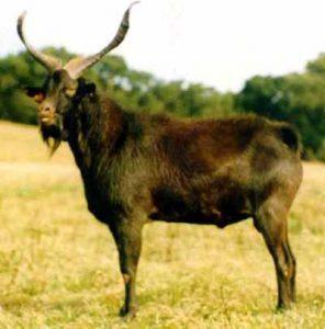 Charnequeira Goats