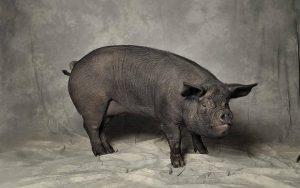 Chato Murciano Pig
