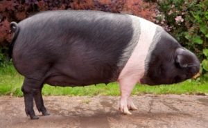 Chato Murciano Pig Images