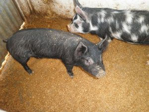 Chato Murciano Pig Pictures