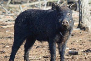 Choctaw Hog
