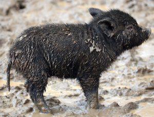 Choctaw Hog Piglet