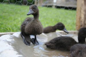 East Indies Duck Baby