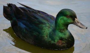 East Indies Ducks