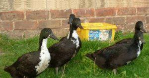 Images of Shetland Duck