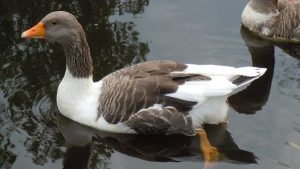 Oland Goose
