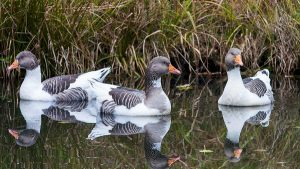 Oland Gooses