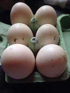 Shetland Duck Hatching Eggs