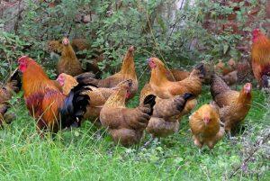 Sumava Chickens