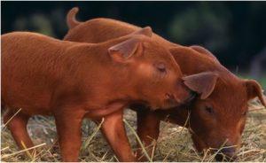 Baby Duroc Pig
