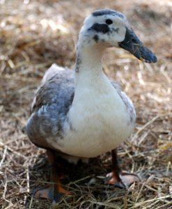 Blue Ancona Duck