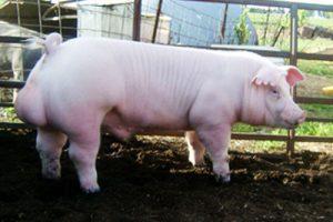 Chester White Pig Images