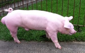 Chester White Pig Pictures