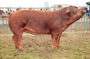 Duroc Pig Pictures