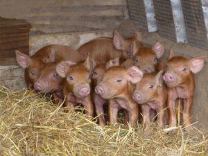 Duroc Piglets