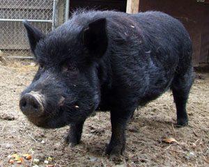 Guinea Hog Pictures