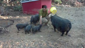 Guinea Hog Size