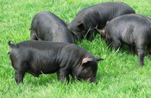 Guinea Hogs Images