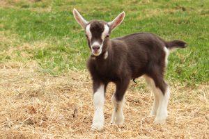 Toggenburg Baby Goat