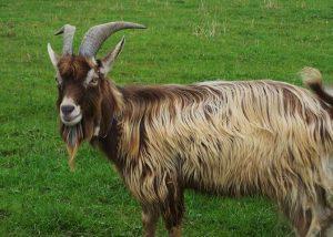 Toggenburg Goat Horns