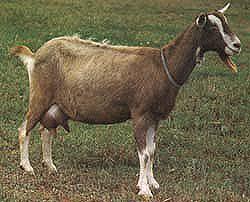 Toggenburg Goat Images