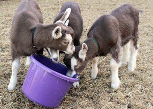 Toggenburg Goat Kids