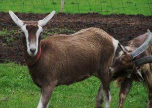 Toggenburg Goat Pictures