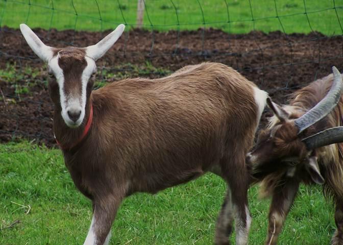 Toggenburg Goat Info, History, Milk Production/Farming