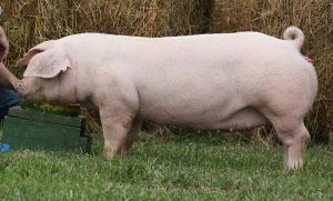 White Chester Pig