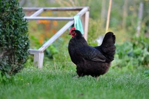 Australorp Chicken