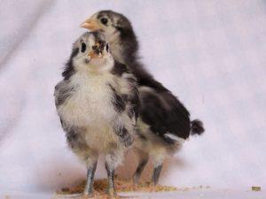 Australorp Chicken Babies